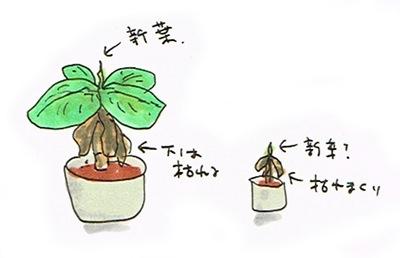 バナナの育ち方はこれで正しいのか?