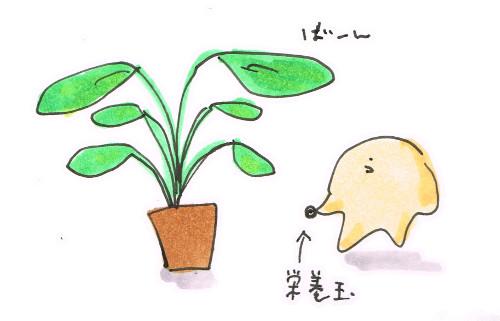 ストレチアと栄養玉