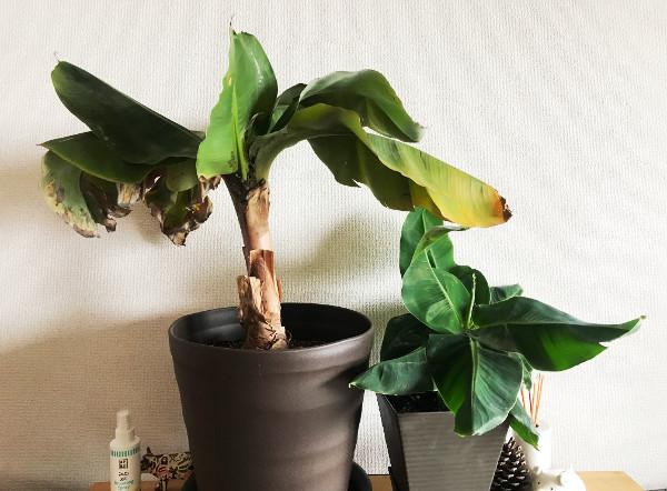 バナナの株分け
