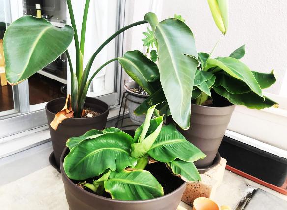 バナナを熱帯環境に移行