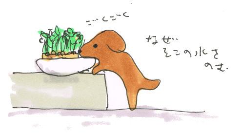豆苗の水争い