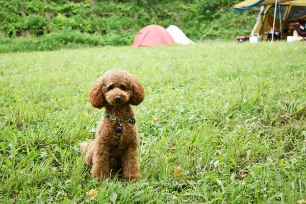 犬連れゴルフ&キャンプ2020年7月_1日目_1_ABCいすみゴルフコース